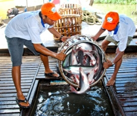 Weekly Pangasius Material Prices Development in Vietnam (3 - 9 Apr 2013)